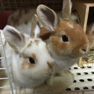 ウサギさん、お譲りします!2匹【募集終了】