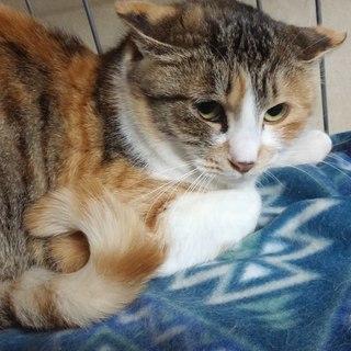【里親決定】ふさふさ尻尾の三毛猫、ふさ子ちゃん 6~12ヶ月