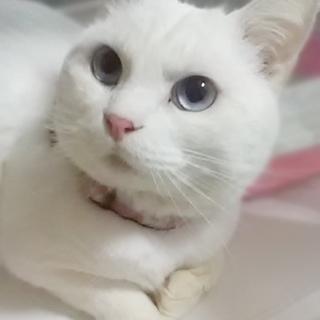 ★白猫王子ガーオ★2月4日 いちのみやの譲渡会に参加します!