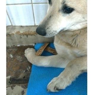 捕獲檻に入って保健所収容!右前足骨折している野犬の女の子が助けを待...