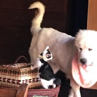 優しい超大型犬の女の子のグレードピレニーズー一旦受け付け止めます