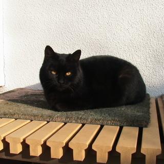 当家に良く来る黒い子猫、どなたか里親になって下さいませんか?