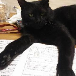 7.5㎏の大物!!とっても甘えん坊な黒猫君