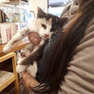 1才未満の薄い色合いの三毛猫の女の子です