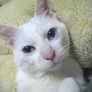 ☆白猫のオッドアイ男の子「チロルくん」里親様募集☆