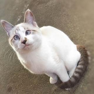 ブルーアイが魅力的なシャムミックスの女の子♪白猫 生後6ヵ月 里...