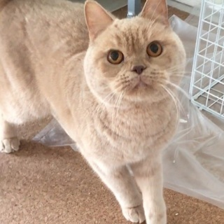 【新規受付終了】穏やかな性格で甘えん坊 - 猫