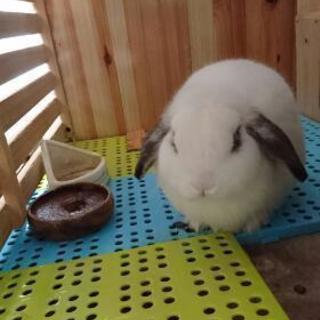 ウサギ  ロップイヤーです。
