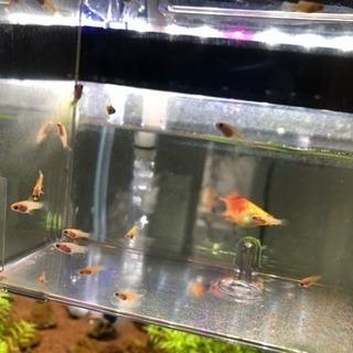 ミッキーマウスプラティ稚魚4匹