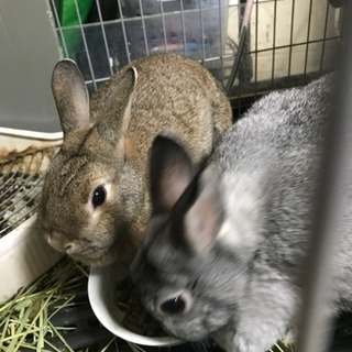 ウサギちゃんメス1匹(2歳)里親募集!残り一匹