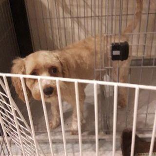 トイプードルとキャバリアのMix犬2才の男の子✨