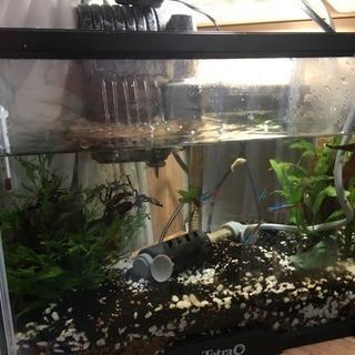 一時募集停止【熱帯魚】ネオンテトラ、カージナルテトラ、メダカ