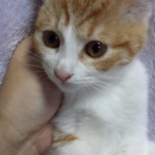 3月4日(日)子猫の譲渡会 ❤️茶白の女の子 生後3ヶ月 …
