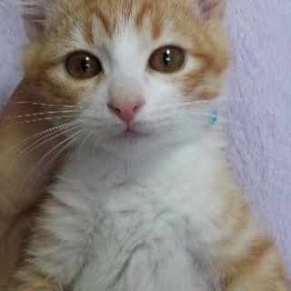 3月4日(日)子猫の譲渡会 ❤️茶白の男の子生後3ヶ月 ボ…