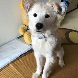 紀州犬mix7ヶ月♂