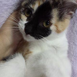 3月4日(日)子猫の譲渡会 ❤️みけちゃん生後3ヶ月 お顔に黒い蝶...