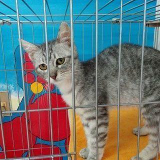 3月4日(日)子猫の譲渡会 ❤️グレーキジ男の子 生後3ヶ月半