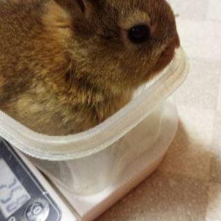 ☆ミニウサギの里親募集します☆