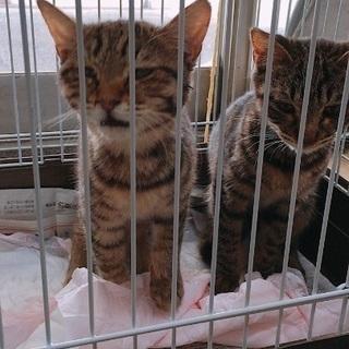 猫二匹 里親募集 今日中