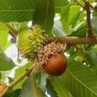 クヌギ苗木   きのこ用  雑木の林