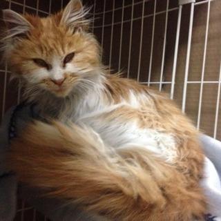 生後6ヶ月・メスの猫ちゃんひとなつっこい〜里親・保護猫ボランティア急募