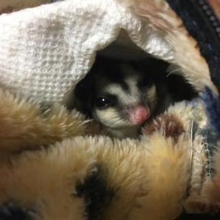 フクロモモンガ♀脱嚢3ヵ月