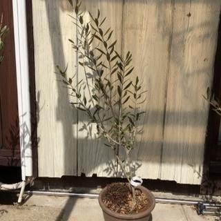 オリーブ ミッション 鉢植え