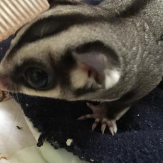 フクロモモンガ♂脱嚢3ヵ月