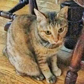 涼やかな目のメス猫2歳