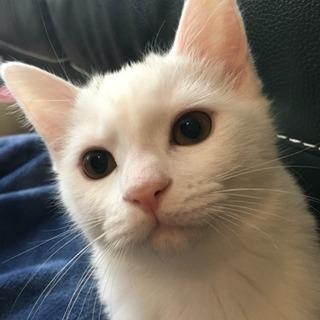 白猫ちゃんの里親募集中です。
