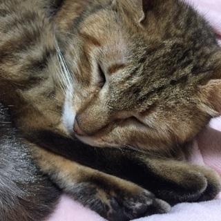 約2年の猫 メス 避妊手術済