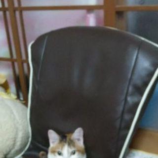 三毛猫 9ヵ月メス