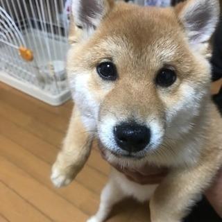 【鹿児島市】柴犬男の子の家族になってくれませんか?