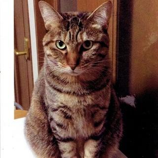 美人猫 「いちごちゃん」 キジトラ、メス、6歳 性格お墨付き! ...