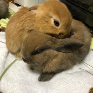 子ウサギ里親募集します