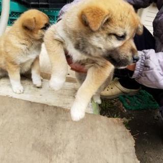 子犬のメス3匹います、里親探してます。