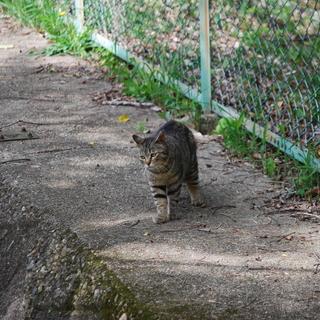 少し小ぶりで可愛いフワちゃん 推定2~3歳のキジトラ
