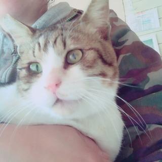 【里親決定】元お外猫、激甘えん坊の男の子(耳先カットあり)