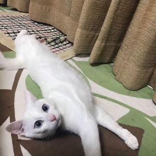 受付中止中。白猫♂1歳未満