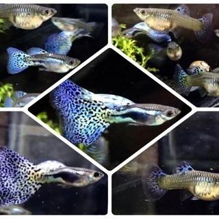ブルーグラスグッピー 2ペア(熱帯魚)