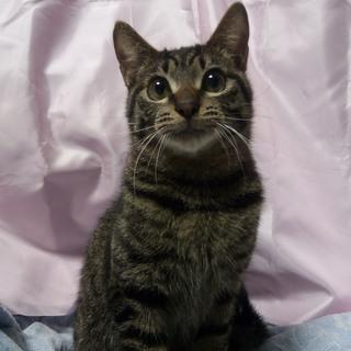 トライアル決定!お風呂に入れるキジトラ猫(1才)