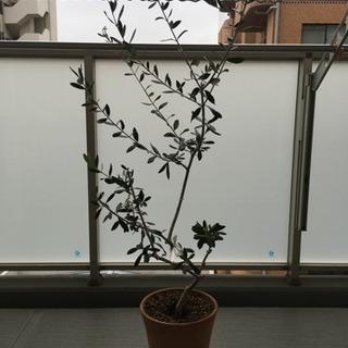 オリーブの木 1本