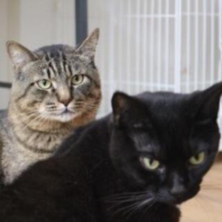 大きくて甘えん坊な仲良し猫さん、2匹一緒で募集です