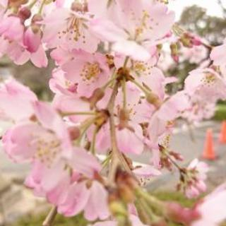 お花見ヨガin木場公園 3/31