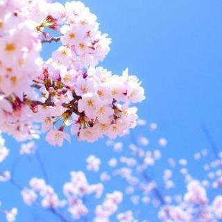 弘前桜祭りバイト募集!短期!