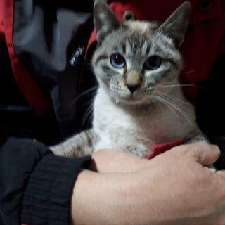 青い瞳の可愛いい猫の里親募集です!