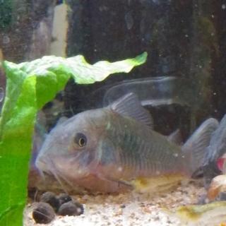 【熱帯魚】エメラルドグリーン・コリドラス