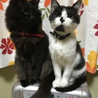 長毛黒猫(0.7)と黒白猫(0.5)の募集です。