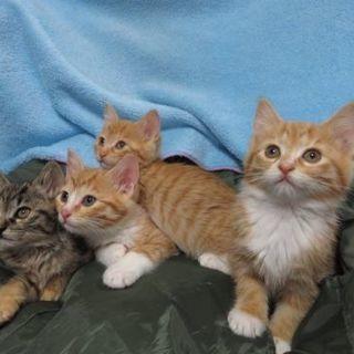 4月8日(日)は子猫の譲渡会です❤️生後2ヶ月 茶白男の子と女の子...