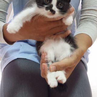 4月8日(日)の猫の譲渡会に出します❤️黒白女の子 生後2ヶ月